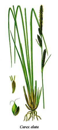 Cleaned-Illustration Carex elata
