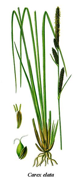 Cleaned-Illustration Carex elata.jpg