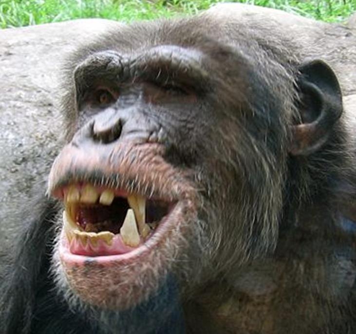 Close up - chimpanzee teeth