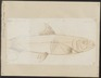 Clupea pilchardus - 1700-1880 - Print - Iconographia Zoologica - Special Collections University of Amsterdam - UBA01 IZ15100054.tif