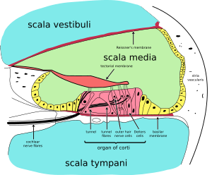 Cochlea-crosssection.svg