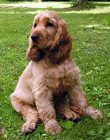 Cocker spaniel adult pictures