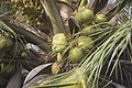 Coconut fruit.jpg