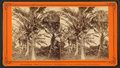 Coconut trees with fruit, from Robert N. Dennis collection of stereoscopic views.png