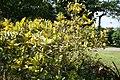 Codiaeum variegatum Yellow Thai 3zz.jpg