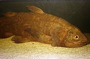 Coelacanth CAS 1.JPG