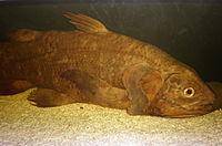Coelacanth CAS 1