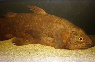 Living fossil - Image: Coelacanth CAS 1