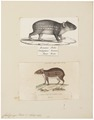 Coelogenys paca - 1700-1880 - Print - Iconographia Zoologica - Special Collections University of Amsterdam - UBA01 IZ20600089.tif