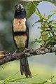 Collared Aracari, Rancho Naturalista, Costa Rica, January 2018 (26403383888).jpg