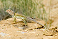 Collared lizard Crotaphytus collaris (4935106647).jpg