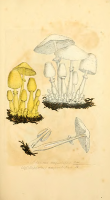 Coloured Figures of English Fungi or Mushrooms - t. 2.png
