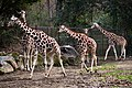 Column of Giraffes (16063817520).jpg
