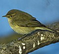 Common Chiff-Chaff - Italy S4E1681 (19081363189) (cropped).jpg