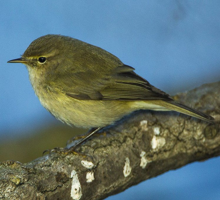 Common Chiff-Chaff - Italy S4E1681 (19081363189) (cropped)