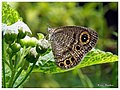 Common Fivering Ypthima baldus (14882940738).jpg