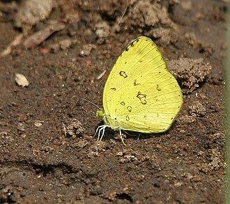 Lepidoptera - Dry-season form