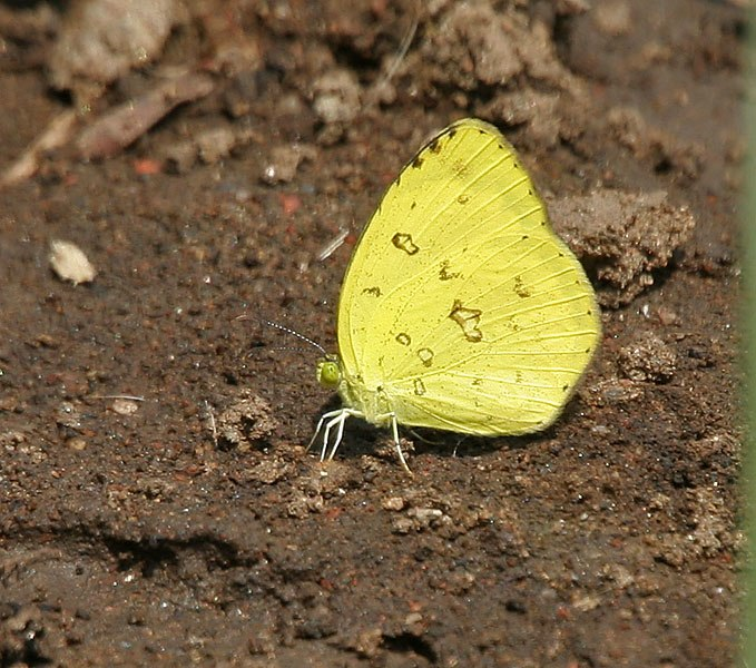 Common Grass Yellow (Eurema hecabe) in Kawal WS, AP W IMG 1784