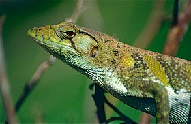 Common Monkey Lizard (Polychrus marmoratus) (10407328546).jpg