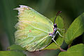 Common brimstone butterfly (Gonepteryx rhamni) male worn.jpg