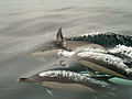 Common dolphins blowing.jpg
