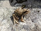 Common frog, Ariège, France.JPG