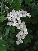 Common hawthorn flowers.jpg
