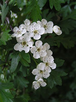 Close up of the flowers of Common Hawthorn, co...
