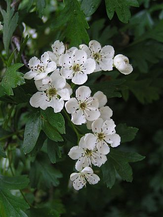 Crataegus monogyna - Image: Common hawthorn flowers