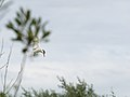 Common tern, diving (14194044609).jpg