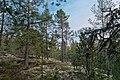 Coniferous forest of Palokallio in Kuninkaanmäki, Vantaa, Finland, 2021 April.jpg
