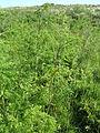 Conium maculatum Hauxley 1.jpg