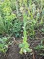 Conringia orientalis sl9.jpg