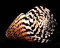 Conus Litteratus Madagascar.jpg