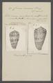 Conus cinereus - - Print - Iconographia Zoologica - Special Collections University of Amsterdam - UBAINV0274 085 10 0024.tif