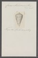 Conus malaccanus - - Print - Iconographia Zoologica - Special Collections University of Amsterdam - UBAINV0274 086 07 0032.tif