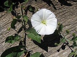 Convolvulus arvensis bg.jpg