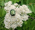 Copper Beetle Rowan Tree in Bloom.... - panoramio.jpg