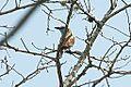 Coracias spatulatus, southern Mozambique 3.jpg