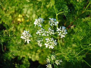 Coriandrum sativum Blossoms1.jpg