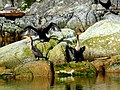 Cormorants (4344426194).jpg