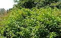 Cornus racemosa kz1.jpg