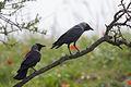 Corvus monedula, Israel 2.jpg