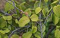 Corylopsis pauciflora.jpg