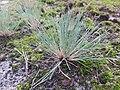 Corynephorus canescens 94469874.jpg