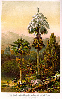 <i>Corypha</i> genus of plants