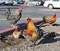Cotati Fowl 10222.jpg