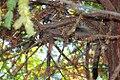Cougar cub in tree (16279781221).jpg
