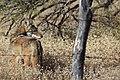 Coyote - panoramio.jpg