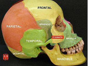 Skull bones